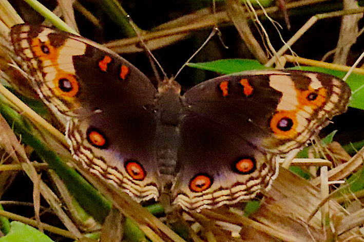 Blue Pansy female (Junonia orithya wallacei),  Alexandra Woodlands, Wilson, 7 Jul 2019 copy.jpg
