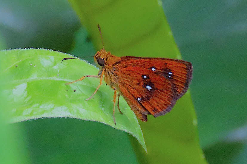 Chestnut Bob (Iambrix salsala salsala), Alexandra Woodlands, 7 Jul 2019 copy 2.jpg
