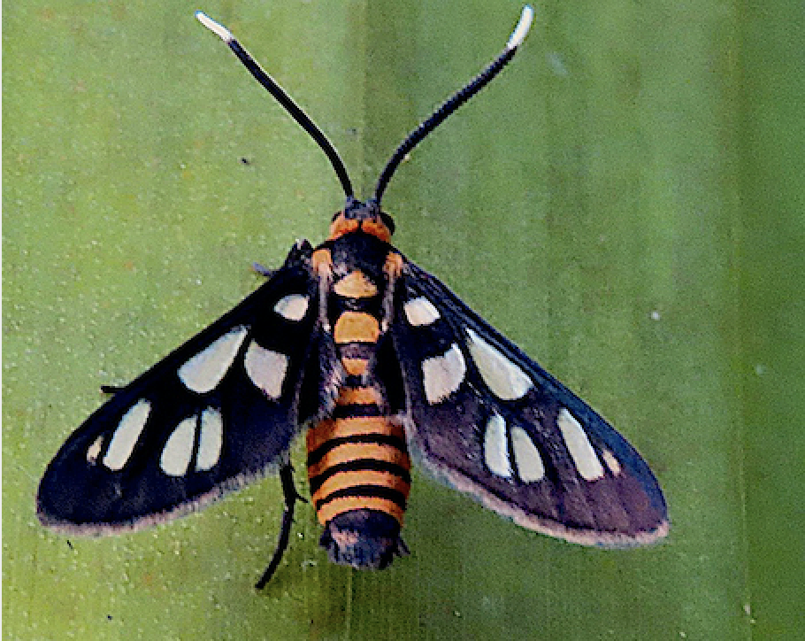 Huebers Wasp Moth2 - Amata huebneri Alexandra Woodlands Screenshot.png